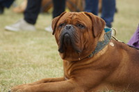 Dogue de Bordeaux hvalpe Dogue de Bordeaux Dogger Shadow of Oak Excalibur Bull Di Al Faree